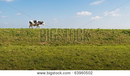 Black And White Spotted Cow On Top Of A Dike