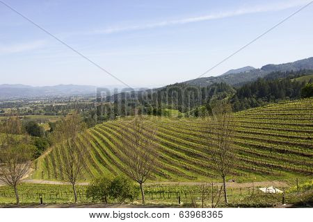 Typical landscape with rows of grapes  in the wine growing region of Napa Valley