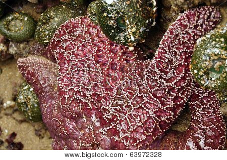 Purple Sea Star Exposed By Low Tides