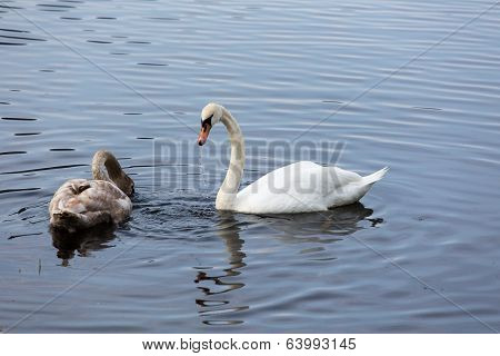 Mother Swan And Child Looking For Food