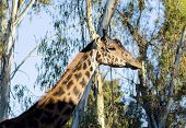 foto of terrestrial animal  - A close up view of an adult giraffe - JPG