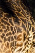 foto of terrestrial animal  - A close up view of a Rothschild giraffe body skin. The Giraffa camelopardalis