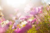 picture of chamomile  - Chamomile in purple - JPG