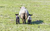 pic of spring lambs  - Spring pasture with flock of sheep and lambs - JPG