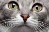 stock photo of animal nose  - closeup portrait gray cat with red nose and yellow eyes - JPG