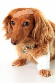 image of wiener dog  - Dachshund dog wearing a bandage and band - JPG