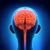 foto of cerebrum  - Illustration of Human Brain Anatomy - JPG