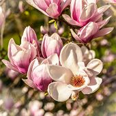 image of magnolia  - Blossoming of magnolia flowers in spring time - JPG