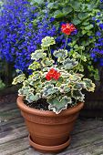 image of lobelia  - Variegated leaf geranium growing in a clay pot on a home patio - JPG