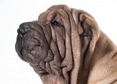 pic of shar-pei puppy  - chinese shar pei head portrait isolated on white background - JPG