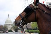 stock photo of clydesdale  - A Clydesdale stands in the shadow of the US Capitol in Washington - JPG