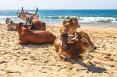 stock photo of sea cow  - Bull and cows on the GOA sand beach near Arabian sea in India