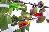 image of modification  - genetic modification in the early stage of fruit ripening - JPG