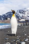 picture of spread wings  - A King Penguin spreads his wings - JPG