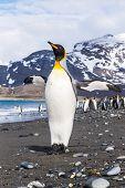 foto of spread wings  - A King Penguin spreads his wings - JPG