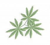 foto of mary jane  - Vegetable and Herb An Illustration of Fresh Cannabis Hemp or Marijuana Leaves Used for Medicinal Purposes or Recreational Drug - JPG