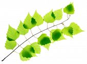 pic of birching  - Birch twig with green leaves isolated - JPG
