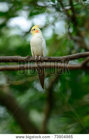 Lutino Mutation Cockatiel (nymphicus Hollandicus)