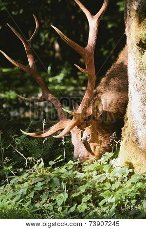 Elk in prairie creek redwoods state park