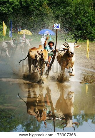 Activity Sport, Vietnamese Farmer, Cow Race
