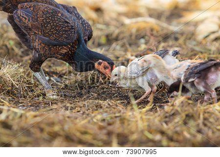 Thai Domestic Chicken Hen Feeding With Baby Chicken On Rural Ground Of Ranch Farm