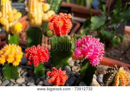 Many Flowering Cacti In Pots, Close-up