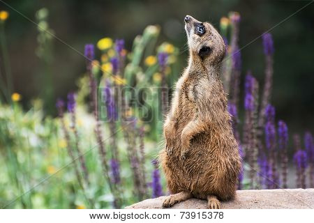 Meerkat Is Looking Up