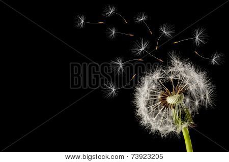 Dandelion seed head on a black background