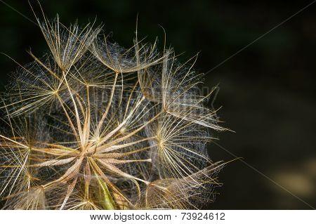 Macro View Of Some Dandelion Seeds.