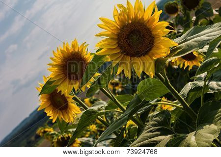 Sunflower In A Field Of Sunflowers.