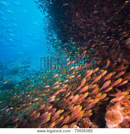 Shoal or school of tropical fish swimming underwater over a rocky offshore coral reef schooling to confuse predators, square format