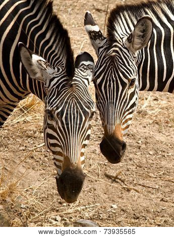 Two zebras head to head,vertical