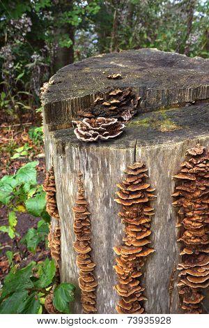 Bracket fungi on a tree stump