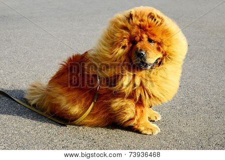 Brown Friendly Chow-chow Dog In The City