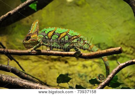 Lizard on a swamp