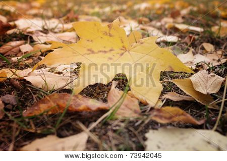 Beautiful Yellow Leaves Of Maple In Macro Fall On Earth