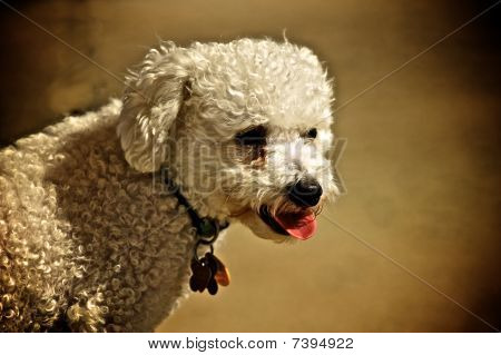 A Bichon Frise looking intently at a bowl of water