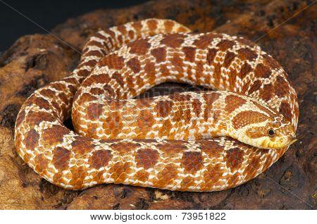 Hognose snake / Heterodon nasicus