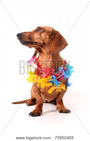 An isolated dachshund on a white background. Hawaii theme.