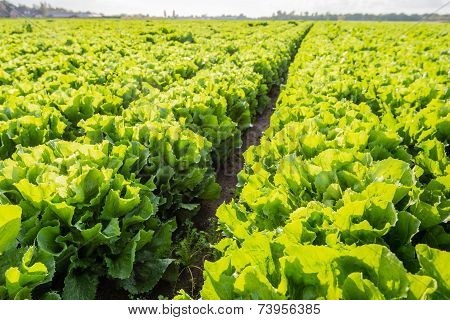 Rows Of Endive Plants In The Field