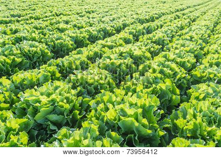 Rows Of Endive Plants At A Market Garden