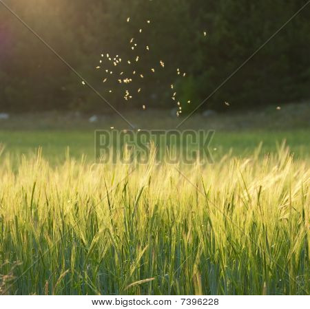 Midges Flying Over A Meadow