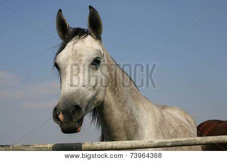 Portrait of shagya arabian horse in pastureland Portrait of arabian horse in pastureland