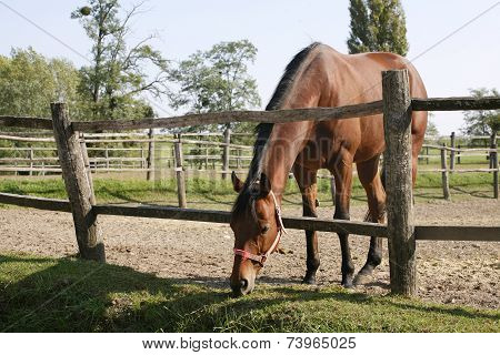 Bay horse stands in summer corral