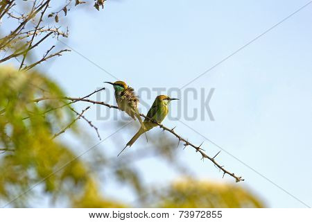 Couple Of Green Bee-eaters