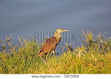 Paddybird