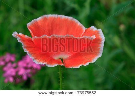 Pink Poppy On Meadow