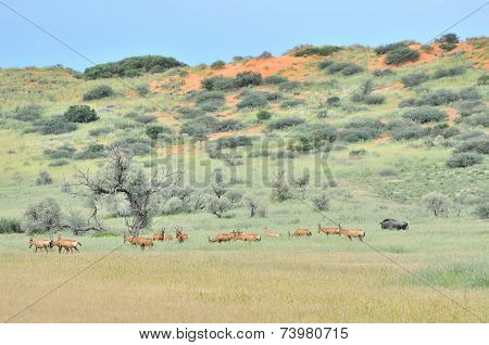 Red Hartebeest Herd