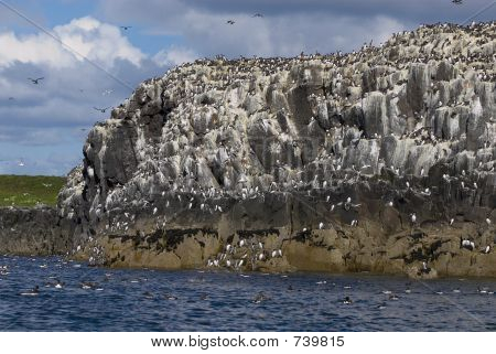 Bird Colony on Farne