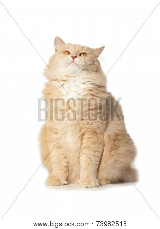 Funny Red Cat Isolated Over White Background